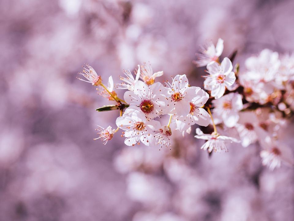 cerezos en flor - Torres