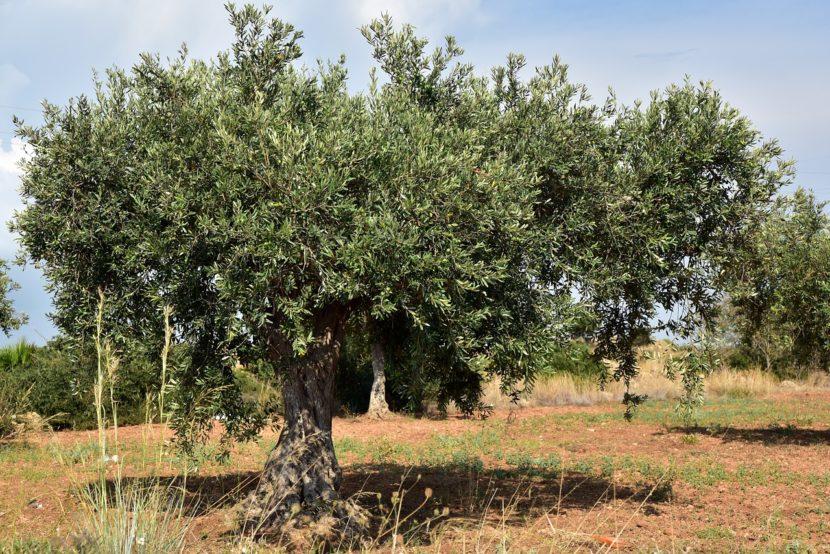 olivar 830x554 - El olivar jiennense en cifras