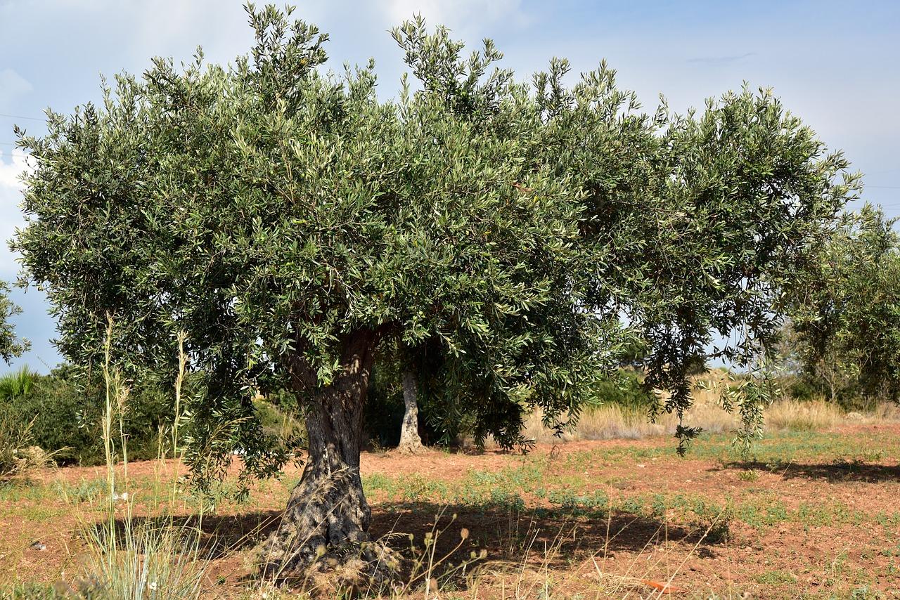 olivar - El olivar jiennense en cifras